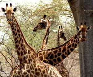 Puzle Quatro girafas