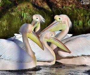 Puzle Quatro pelicanos rosa