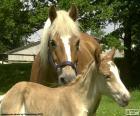 Égua e potro castanho claro no campo