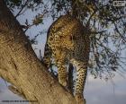 Leopardo ou onça sobre o ramo de uma árvore