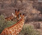 Dois girafas, uma está comendo a grama en quando a outra está atento