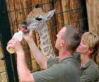 Zoológico detentores ou zoo alimentando uma girafa