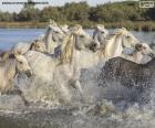 Manada de cavalos selvagens através da água