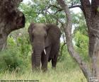 Elefante comendo grama