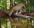 Jaguar - Onça-pintada