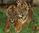 Tigres novo