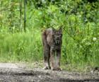 Lynx avec fortes jambes, de longues oreilles, queue courte et pelage jaspé