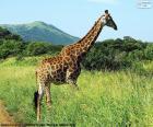 Girafa na savana
