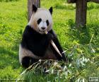 Panda comendo