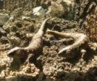 Grandes lagartos sobre umas rochas