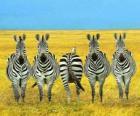 Cinco das zebras