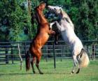 Dois cavalos empinados