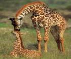 Família de girafas