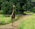 Girafa na caminho