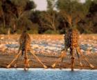 Dois girafas, beber em um lago na savana