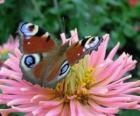 Linda borboleta com as asas completamente abertas