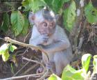 Macaco pequeno