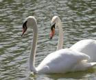 Cisnes que nadam calmamente