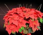 Flor do Natal ou poinsétia