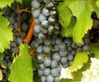 Um cacho de uvas