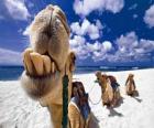 Os camelos dos Reis Magos descanso em seu caminho até Belém
