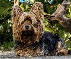 Cachorro Terrier com longos pelos