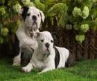 Cachorros Bulldog