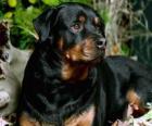 Rottweiler cão de guarda