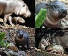 Hipopótamo-pigmeu no Taronga Zoo