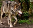 O lobo é um mamífero carnívoro e pode viver em florestas, montanhas, tundra e pradarias