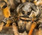 Uma tarântula ou caranguejeira, uma grande aranha, com pernas longas cheias de pelos
