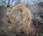 Girafa comer arbustos