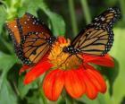 duas lindas borboletas cara a cara