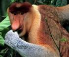 O Macaco-narigudo (Nasalis larvatus) é um macaco da família dos cercopitecídeos, endêmico de Bornéu.