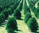 fazenda da árvore de Natal