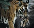 Tigre carregando seu bebê