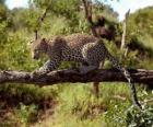 Jaguar em um galho de árvore