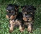 Filhotes de cachorro Yorkshire Terrier