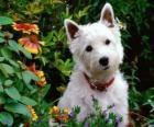 West Highland White Terrier é uma raça de cães oriunda da Escócia