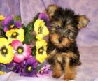 Filhote Silky terrier ou silky terrier australiano