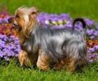 Silky terrier ou silky terrier australiano é uma raça de cão oriunda da Austrália