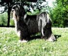 Terrier tibetano é uma raça canina oriunda da região do Tibete