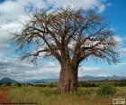 Baobá Africano