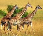 Três girafas