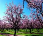 Árvores de amêndoa de floração na Primavera