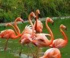 Flamingos na água, grandes aves aquáticas com plumagem cor de rosa