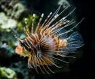 Peixe-leão-vermelho