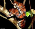 Jiboia-vermelha