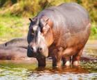 Hipopótamo selvagem