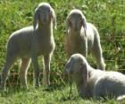 Três cordeiros